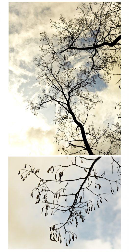 acacia dans le ciel