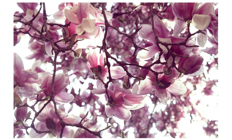 magnolia en fleur école des cordeliers annonay