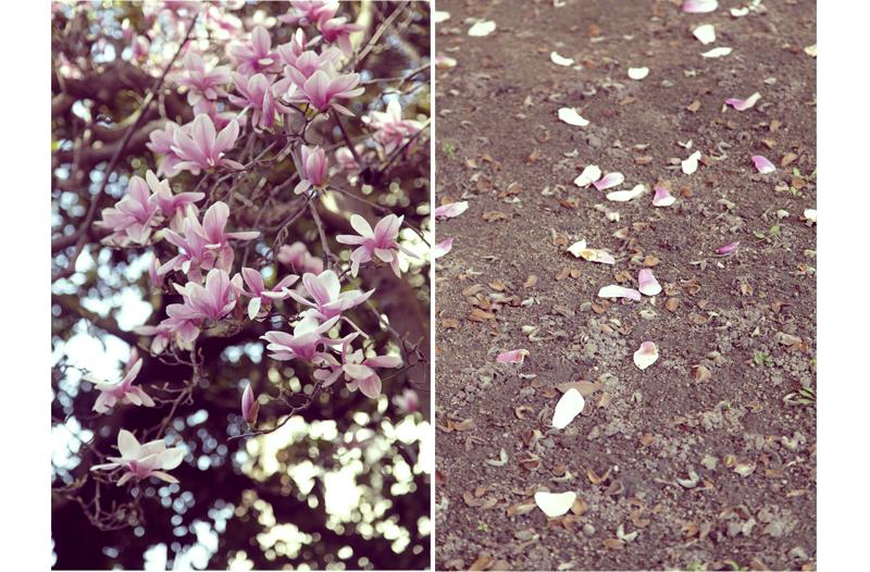 magnolia en fleur école primaire cordeliers annonay