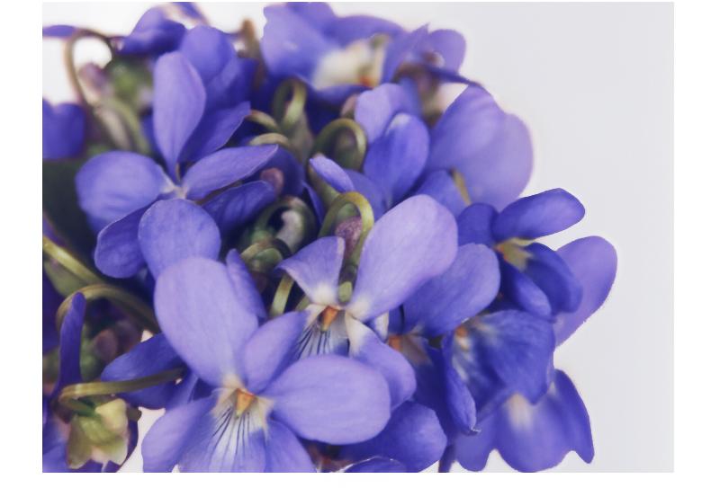 bouquet de violette