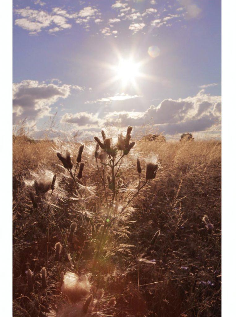 champs de blé ardèche contre jour