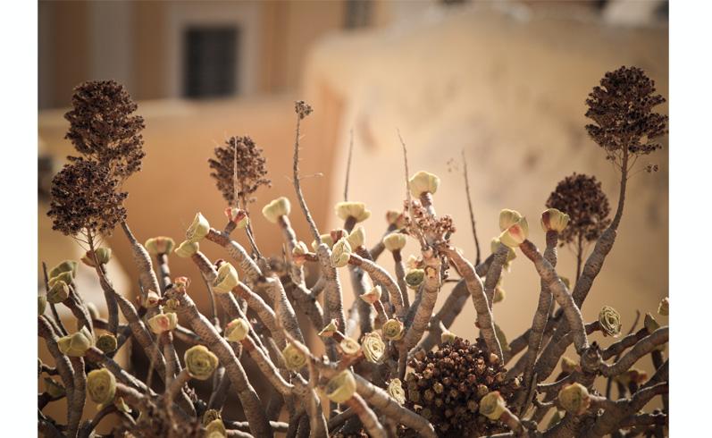 plantes grasses Grèce